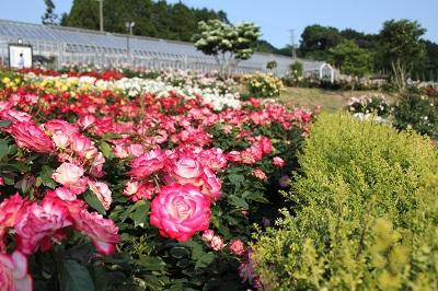 島田市ばらの丘公園(バラ)