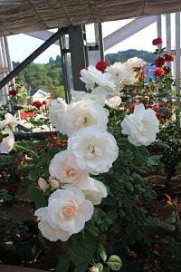 島田市ばらの丘公園(白バラ)