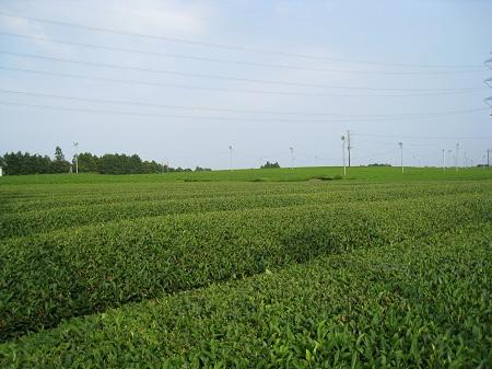 グリンピア牧之原(茶畑)