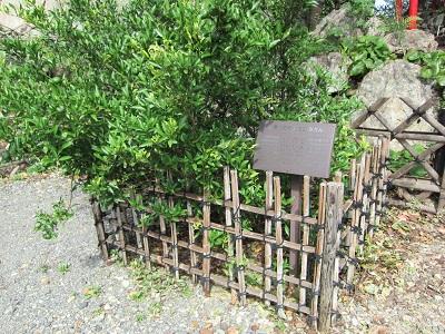 浜松城(家康公お手植えのみかんの木)