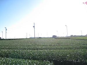 旧東海道金谷坂の石畳(茶畑2)