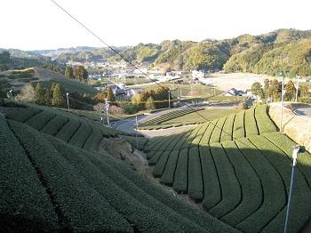 勝間田城跡(茶畑)