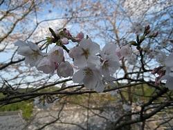 慶寿寺(桜)