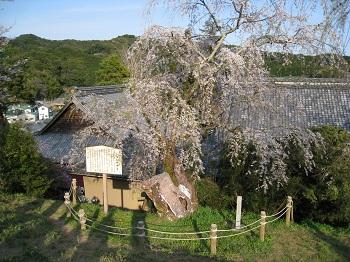慶寿寺と枝垂桜1