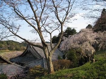 慶寿寺と枝垂桜2
