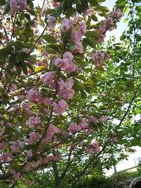 塩の道公園(桜)