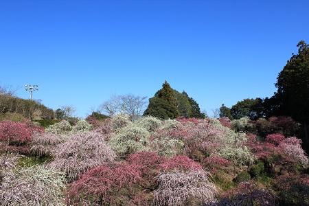 龍尾神社(しだれ梅全景)