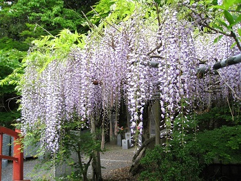 医王山 油山寺(藤の花)