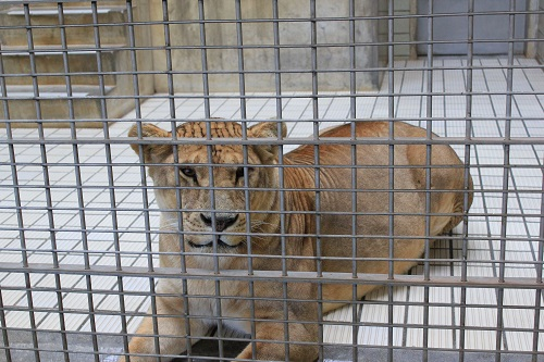 浜松市動物園(ライオン)