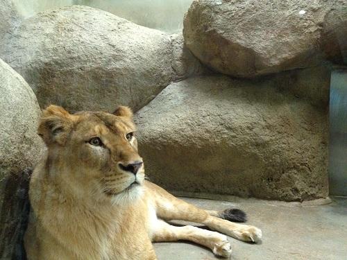 日本平動物園(ライオン)