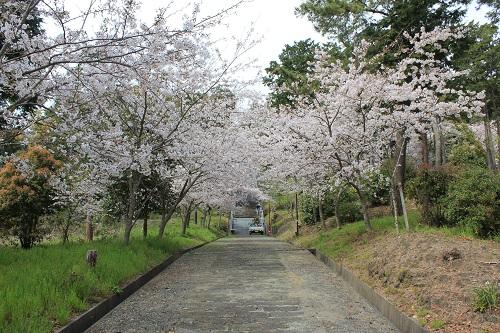 高松神社(参道の桜)