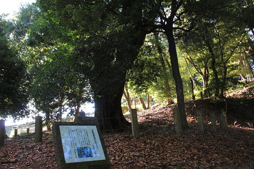 駒形諏訪神社の大カシ(山中城)