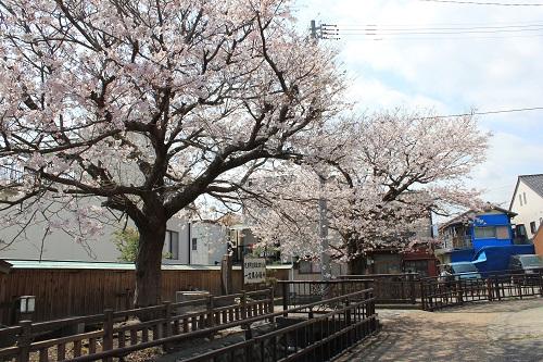 蒲原夜之雪記念碑と桜