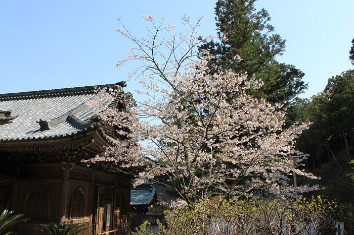 さくら(奥山方広寺)