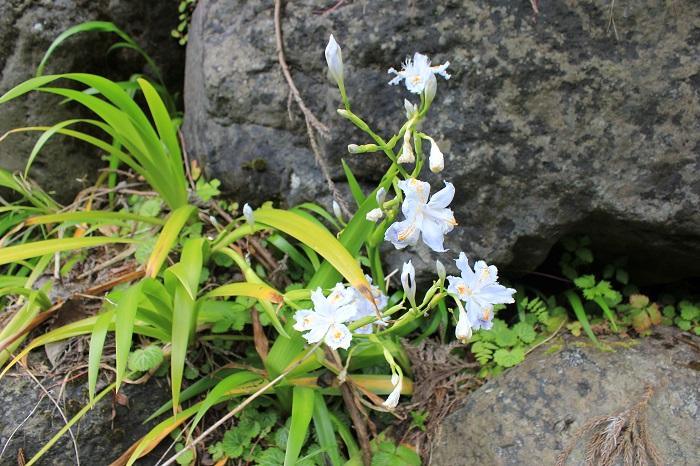 花(白糸の滝)