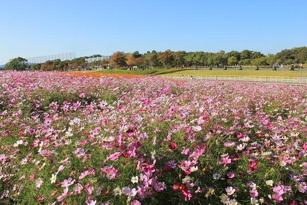 浜名湖ガーデンパーク(コスモス)