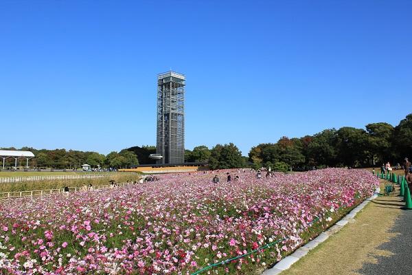 浜名湖ガーデンパーク(コスモスと展望塔)