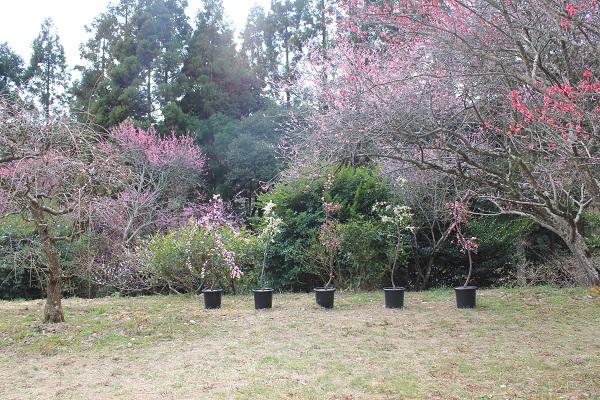 相良梅園(鉢植え)